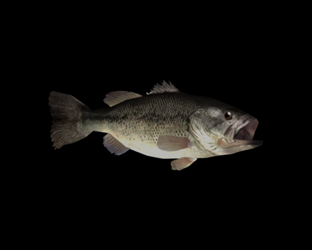 Image of Black Bass