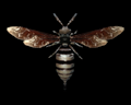 Image of Bee Specimen