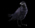 Image of 1 Crow