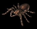 Image of 2 Giant Spiders